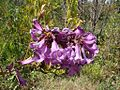Jacaranda macrantha.jpg