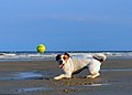 Jack Russell Terrier Lola at the Beach.jpg