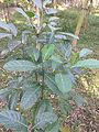 Jackfruit tree leaves 03.jpg