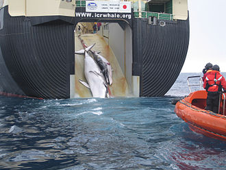 An adult and sub-adult Minke whale are dragged aboard the Nisshin Maru, a Japanese whaling vessel Japan Factory Ship Nisshin Maru Whaling Mother and Calf.jpg