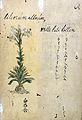 Japanese Herbal, 17th century Wellcome L0030088.jpg