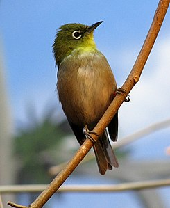 Japanese White-eye.jpg
