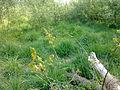 Jeune chêne à Grez-Doiceau 001.jpg