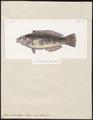 Julis umbrostigma - 1841-1852 - Print - Iconographia Zoologica - Special Collections University of Amsterdam - UBA01 IZ13900127.tif