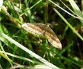 July Belle. Scotopteryx luridata - Flickr - gailhampshire.jpg