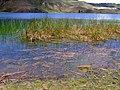 Juncos a la orilla del lago - panoramio.jpg