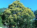 Juniperus chinensis cult. aurea.JPG