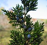 Juniperus virginiana Maine.jpg
