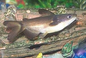 Horabagrus - A juvenile Horabagrus catfish in an aquarium