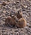 Juvenile Nubian ibex (50827).jpg