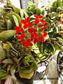 Kalanchoe زهور الكلانشو.jpg