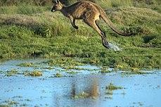 Источни сиви кенгур у покрету