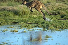 A Tasmanian Forester (Eastern Grey) Kangaroo in motion.