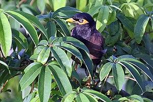 Ceiba pentandra - Image: Kapok leaves I IMG 5949