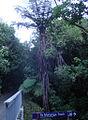 Karori Tree Fern - Flickr - Teacher Traveler.jpg