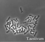 Karyotype of wheat (Triticum aestivum).png