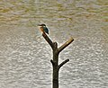 Kingfisher at Mere Sands Wood - geograph.org.uk - 935921.jpg