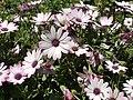 Kirkuk Flower 5.jpg