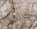 Kirschblütenbaum Cuxhaven.png