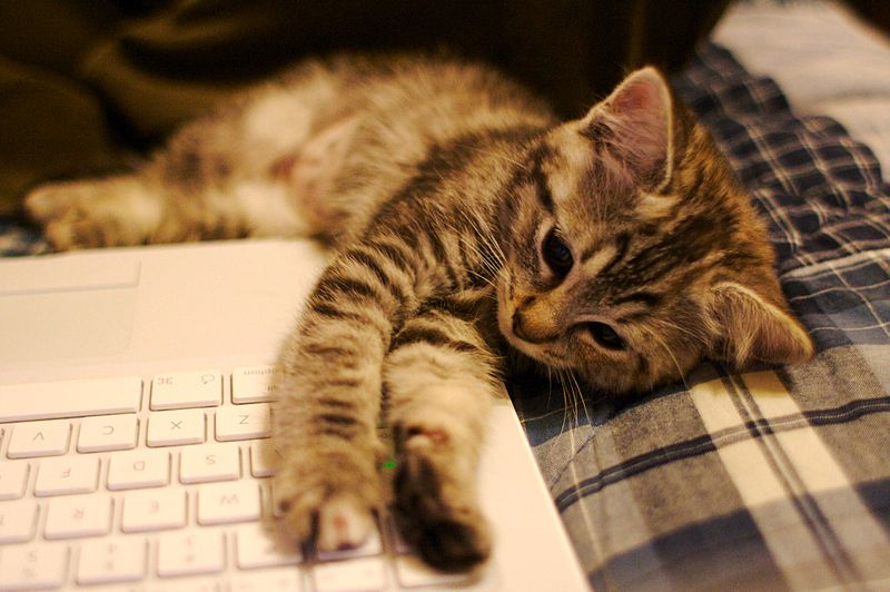 File:Kitten with laptop - 278017185.jpg