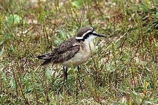 Kittlitzs plover Species of bird