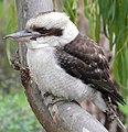 Kookaburra melb.jpg