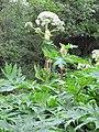 Korina 2011-06-24 Heracleum mantegazzianum 2.jpg