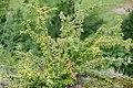 Korina 2017-08-12 Cotoneaster divaricatus.jpg