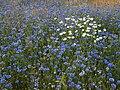 Kornblume Centaurea cyanus Bayreuth-003.jpg