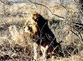Krugerparkléiw1.jpg