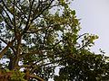 Kumara (Bengali- কুমড়া) (5132825618).jpg