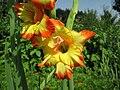 Kvetoucí gladioly.jpg
