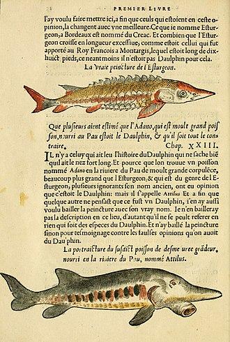Pierre Belon - A page from Histoire de la nature des estranges poissons marins, 1551
