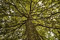 La grande quercia - oasi del Torrazzuolo.jpg