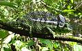 Labord's chameleon 1.JPG