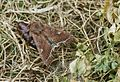 Lacanobia oleracea ex pupa.jpg