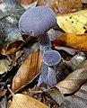Laccaria amethystea epping.jpg