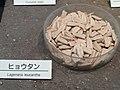 Lagenaria siceraria - Osaka Museum of Natural History - DSC07736.JPG