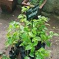 Lagerstroemia speciosa shrubs.jpg