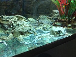 Lake Titicaca frogs in Denver Zoo's Tropical Discovery, Aug 2018.jpg