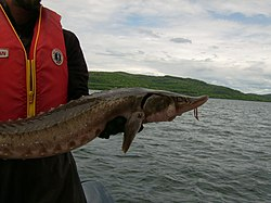 Lake sturgeon (Batchawana B) 2.JPG