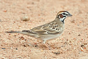 Lark Sparrow at Amado, Arizona