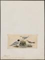 Larus melanocephalus - 1820-1860 - Print - Iconographia Zoologica - Special Collections University of Amsterdam - UBA01 IZ17900272.tif