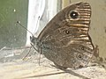 Lasiommata maera - Large wall brown - Бархатка (27291046738).jpg