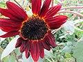Late Summer Sunflower 4 (11488669703).jpg