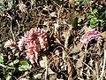 Lathraea squamaria subsp. squamaria sl10.jpg