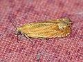 Lathronympha strigana - Глазковая листовёртка зверобойная (41283528991).jpg