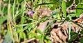 Lathyrus vernus in Aveyron (3).jpg