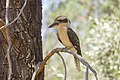 Laughing kookaburra (Dacelo novaeguineae), photographed in the Kindra State Forest.jpg