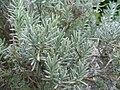 Lavandula angustifolia Hidcoe 1zz.jpg